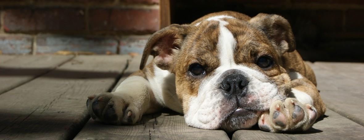 Chiot heureux - Happy puppy