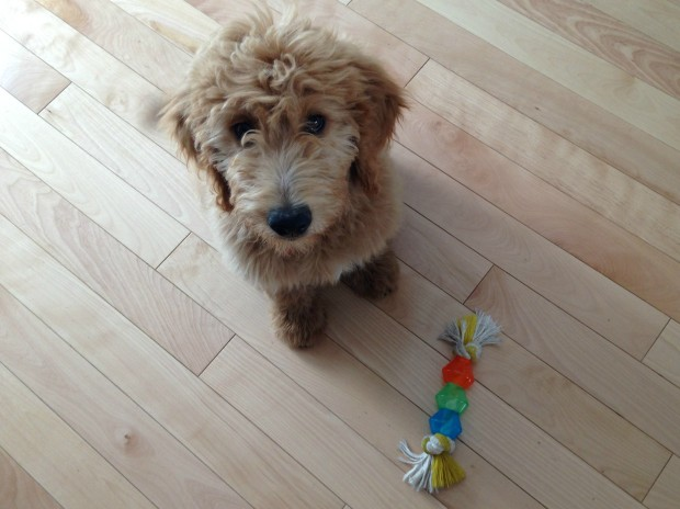 puppydogdod-sittinggarde-de-chiensoinspet-sitting-pet-care-dog-walking-promenade-de-chiensplateau-mont-royalmontreal